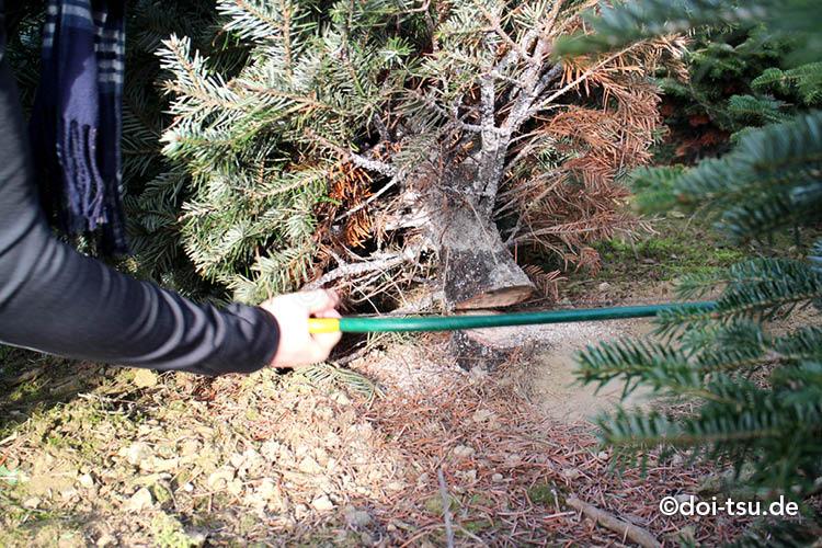 クリスマスツリー農家でもみの木をのこぎりで切る様子
