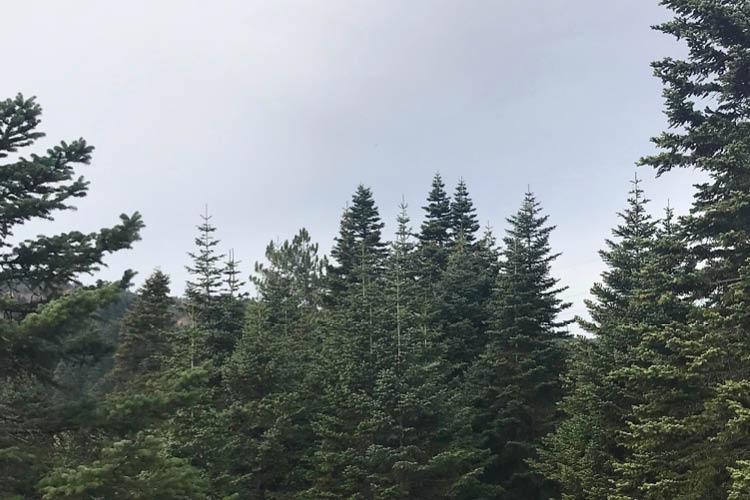 ヨーロッパモミやオウシュウモミという名前のモミの木