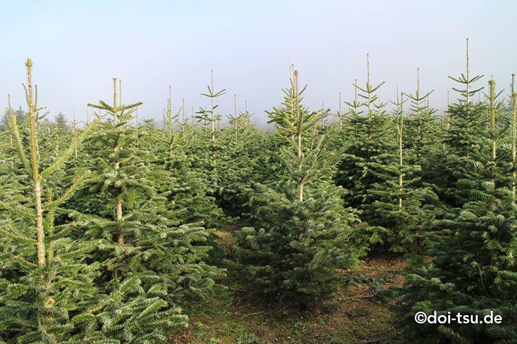 ドイツのクリスマスツリーファーム