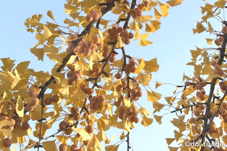 生の銀杏の実がたくさんイチョウの木になっている様子